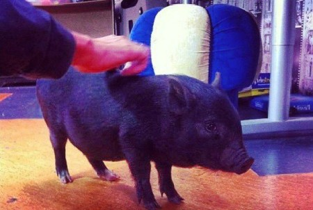 На проекте Дом 2 теперь живут не только тараканы, змеи и крысы, но и настоящая свинья!